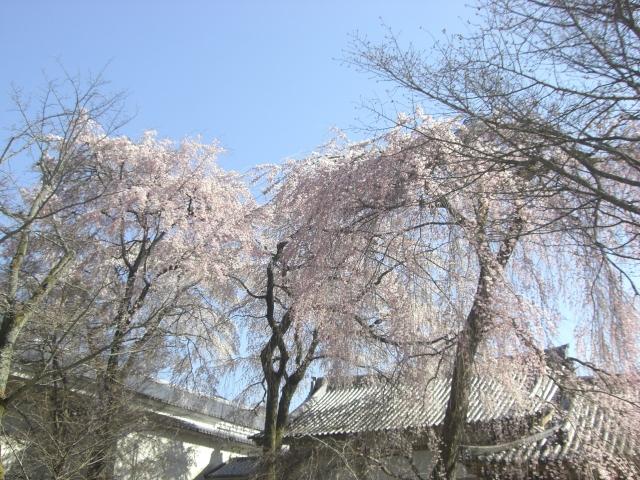 二条城の桜in2016のライトアップは?時間と見頃をチェック!!