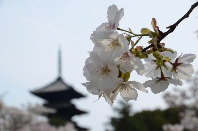 仁和寺の桜in2016の見頃!!隠れミッキーならぬ隠れ桜を探せ⁉