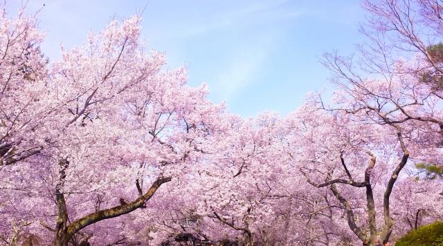 桜の開花予想in2016!開花の仕組みを知れば納得、やっぱり植物は偉かった