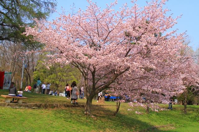 円山公園の桜in2016のライトアップは?見頃とアクセス方法は要チェック