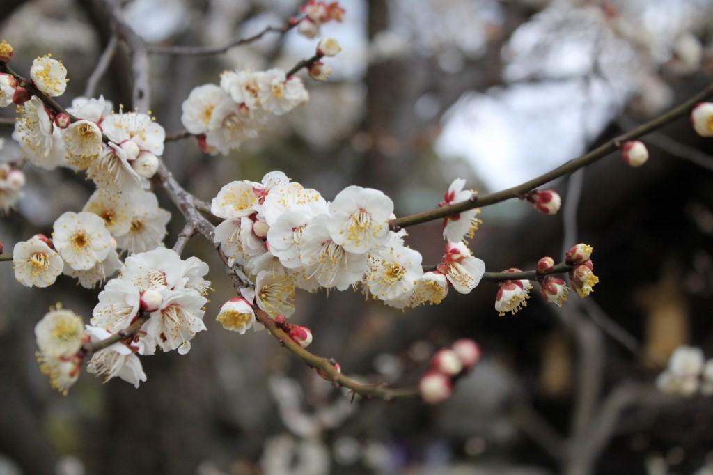北野天満宮の梅の開花情報!2017年の見ごろはいつ?