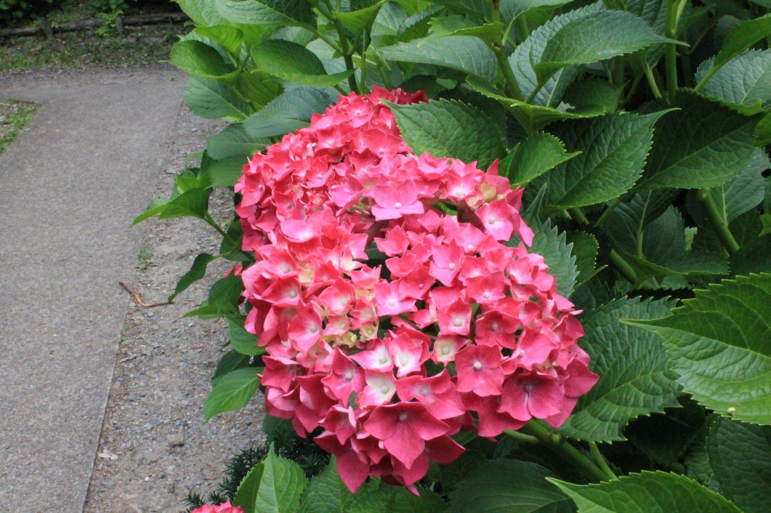 京都府立植物園は『あじさい』の見頃!!180種2500株のあじさいが咲き乱れる⁉