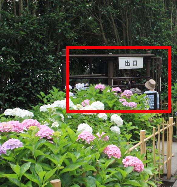 三室戸寺の『あじさい』を見てきた感想。【10,000株】の満開のアジサイはケタ違いだった
